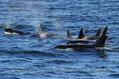 Great photos by Pat Hathaway of the California transient orcas.