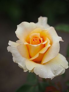 429019d08f Perfect Pastel Yellow Rose My Flower, Pretty Flowers, Beautiful Roses,  Flower Art,