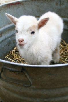 Bébé chèvre ~ Baby goat