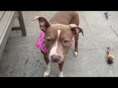 I'M NUMB AND TOTALLY SPEECHLESS AND IN TEARS HOW COULD THEY MURDER THIS POOR ABANDONED PRINCESS 1/21/17 /ij  Manhattan Center MINERVA – A1101425 ***EXPERIENCED HOME / NO CHILDREN*** FEMALE, BROWN / WHITE, PIT BULL MIX, 3 yrs STRAY – STRAY WAIT, NO HOLD Reason ABANDON Intake condition UNSPECIFIE Intake Date 01/11/2017, From NY 10029, DueOut Date 01/14/2017