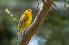 Foto canário-da-terra-verdadeiro (Sicalis flaveola) por Ivan Angelo | Wiki Aves - A Enciclopédia das Aves do Brasil