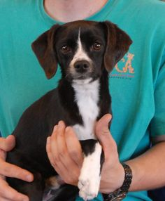 Ralphy and Spidey (pictured) are adorable, playful puppies.  They are cute Beagle & Dachshund mixes, expected to remain small, approximately 9 months of age, and now neutered and debuting for adoption today at Nevada SPCA (www.nevadaspca.org).  Both are good with dogs and older kids, plus crate-trained too.  Ralphy and Spidey needed us because their previous owners said they were too rambunctious around a toddler in the home who kept getting knocked down when the puppies tried to play with…