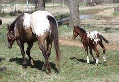 Appaloosa, Horses, Animals, Color, Animales, Animaux, Colour, Animal, Animais