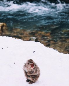 When I shot this young Snow Monkey in #yudanake he just got expelled from the hot spring by the Alpha male. He was then standing on the snow freezing waiting for the Alpha to get away before getting back in the hot waters. by charliedanger