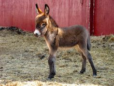 """I read aloud all about donkeys on the hour ) ride home. Then nearing the end of the trip I said """"Honey, can I have a donkey? Baby Donkey, Cute Donkey, Mini Donkey, Baby Cows, Baby Elephants, Cute Baby Animals, Farm Animals, Animals And Pets, Wild Animals"""