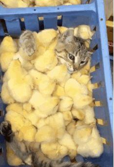 Carezze di seta — nypost: Chicks, man… (via @DeKroonCat)