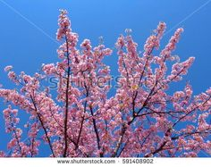 branch of cherry blossoms with blue sky.