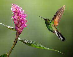 Bellas Aves de El Salvador: Eupherusa eximia (colibrí colirrayado) Nativo de El Salvador