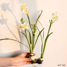 Most up-to-date Screen Daffodils bunch Style Daffodils undoubtedly are a joyful spring flower, announcing the welcome arrival of lighter mornings Bunch Of Flowers, Colorful Flowers, Spring Flowers, Daffodil Bulbs, Daffodils, Planting Bulbs, Handmade Flowers, Artificial Flowers, Compost