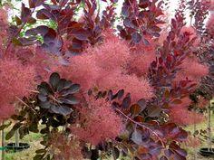 cotinus royal purple - Google Search