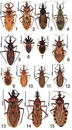 Fig 1-15: Triatominos (Chipos). 1: Panstrongylus geniculatus; 2: Panstrongylus lignarius; 3: Panstrongylus rufotuberculatus; 4: Panstrongylus mitarakaensis; 5: Eratyrus mucronatus; 6: Cavernicola pilosa; 7: Microtriatoma trinidadensis; 8: Triatoma rubrofasciata; 9: Rhodnius paraensis; 10: Rhodnius pictipes; 11: Rhodnius amazonicus; 12: Rhodnius robustus; 13: Panstrongylus megistus; 14: Triatoma brasiliensis; 15: Triatoma maculata