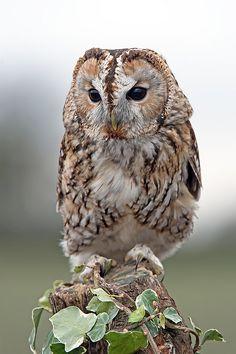 Tawny Owl (Strix Aluco) | Photographed on Scott Latham's Workshop | Flickr - Photo Sharing!