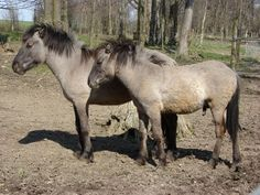 The Heck horse is a horse breed that is claimed to resemble the extinct wild equine, the Tarpan. The breed was created by the German zoologist brothers Heinz Heck and Lutz Heck, director of the Berlin Zoo, at the Tierpark Hellabrunn (Munich Zoo) in Germany in their attempt to breed back the tarpan.