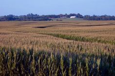 An Iowa cornfield. This is a normal sight  when traveling through Iowa in July and August.