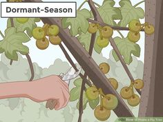 How to Prune a Fig Tree. Keeping your fig tree pruned will help it to produce sweeter, tastier figs since it enables the sugars and hormones to travel all the way up the branches and into the fruits. Fruit Tree Garden, Pruning Fruit Trees, Tree Pruning, Garden Trees, Garden Plants, Pruning Plants, Vegetable Garden, Fig Tree For Sale, Heron Fountain