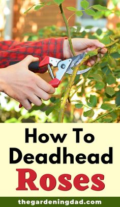 Learn everything you need to deadhead your roses with the Beginner's Guide to Rose Pruning article. This article will make deadheading and pruning roses easy, quick, and perfect for anyone with little or no pruning experience. Rose Plant Care, Rose Care, Garden Yard Ideas, Easy Garden, Garden Spaces, Garden Landscaping, Gardening For Beginners, Gardening Tips, Growing Flowers