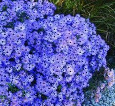 Aster : Symphyotrichum oblongifolium 'October Skies'