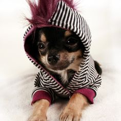 Until Vivienne Westwood starts a pet clothing line, your punk rocker will have to settle for this striped mohawk hoodie for little dogs with big attitude. Cute Chihuahua, Teacup Chihuahua, Cute Puppies, Cute Dogs, Baby Animals, Funny Animals, Cute Animals, Funny Pets, Alter Pullover