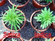 Sativa versus Indica....