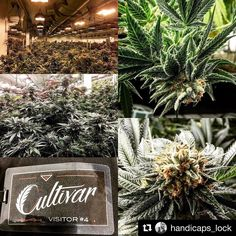 From @handicaps_lock with @repostapp  Holy @house_of_cultivar Batman! It's the Fire! Such an amazing time touring the incredible @house_of_cultivar garden today. The flowers were incredible! The people were rad and the times were good! Huge thanks and shout out to the whole Cultivar team for showing us such a good time. We cannot wait to have some of your amazing flowers on our shelves @paperandleaf206! You guys are truly legit and I love the perspective and compassion you bring to your…