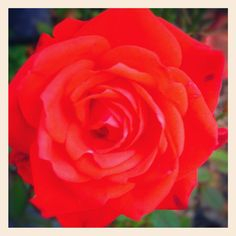 Everyone loves a rose