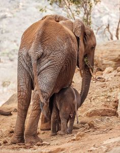Baby elephant hide under his mum - South Africa Tourism Online Magazine - Baby elephant hide under his mum In the wild, baby shelter under their mothers for shade, - Baby Animals, Baby Elephants, Elephant Sanctuary, Game Reserve, African Elephant, Painting Inspiration, Animal Kingdom, Mammals, South Africa