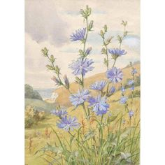 Chicory by Margaret Winifred Tarrant