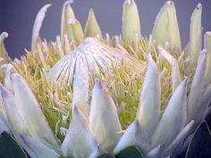 White Protea- Sofia I LOVE the king protea, it would be great to have a few of these, they are a South African flower so that also cool, they also come in a soft pink. South African Flowers, Protea Art, King Protea, Sharp Photo, White King, Floral Drawing, Pretty Pictures, Pretty Pics, Flower Art