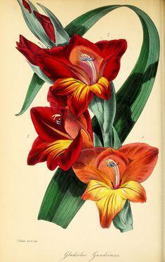 Ghent Corn-flag, gladiolus gandiensis - high resolution image from old book. Vintage Botanical Prints, Botanical Drawings, Antique Prints, Botanical Flowers, Botanical Art, Gladiolus Flower, Illustration Blume, Decoupage, Vintage Flowers