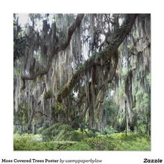 Moss Covered Trees Poster