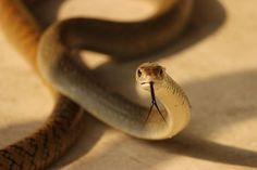 close to rat snake Photo by Deven Mishra — National Geographic Your Shot