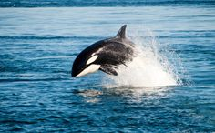 Endangered Orcas Welcome Yet Another Baby!