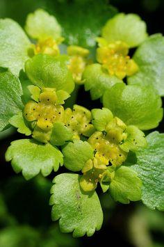 Chrysosplenium alternifolium. Alternate-leaved Golden-saxifrage. | Flickr - Photo Sharing!
