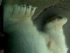 Polar Bear Legs