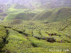Cameron highlands Malaysia, #CameronHighlands, #Malaysia