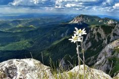 edelweiss is an alpine flower