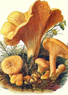 The best Botanical drawings Edible Mushrooms, Wild Mushrooms, Stuffed Mushrooms, Mushroom Art, Mushroom Fungi, Botanical Drawings, Botanical Prints, Impressions Botaniques, Vintage Illustration