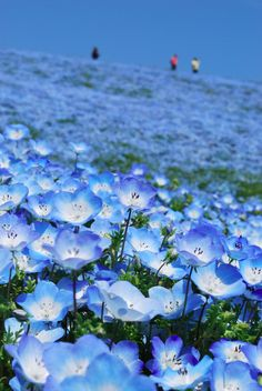 """""""baby blue-eyes""""(Nemophila)- Hitachi Seaside Park in Hitachinaka, Ibaraki, Japan. The park is in full bloom during spring and tourists often visit to see million """"baby blue-eyes"""" flowers blossom. Love Flowers, Wild Flowers, Beautiful Flowers, Beautiful Places, Small Flowers, Simply Beautiful, Hitachi Seaside Park, Field Of Dreams, Mother Nature"""