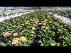 Top performing hydrangeas to look for at your favorite garden center