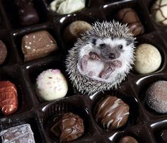 Teeny hedgehog