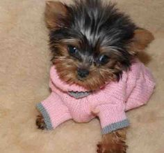 257 Best Yorkie Puppies Images Doggies Cute Dogs Yorkie
