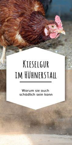 Warum Kieselgur im Stall die Gesundheit von Hühnern beeinträchtigen kann. Ein Artikel zu den möglichen Gefahren der Kieselgur.