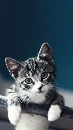 Cute Kitten iPhone Wallpaper on WallpaperSafari Cute Baby Cats, Cute Kittens, Cats And Kittens, I Love Cats, Crazy Cats, Gatos Cats, Photo Chat, Here Kitty Kitty, Kitty Cats