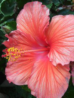 Hawaii flower - hibiscus