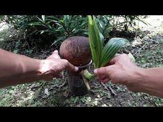 Tropical Plants, Bonsai, Diy And Crafts, Coconut, Bonsai Trees, Bonsai Plants, String Garden