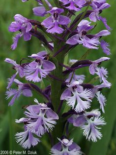 Platanthera psycodes (Lesser Purple Fringed Orchid): Minnesota Wildflowers