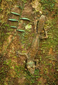 A leaf-tailed gecko camouflaged on a mossy tree trunk in the rainforest of the Masoala Peninsula National Park, north east Madagascar Picture: ALEX HYDE/BARCROFT