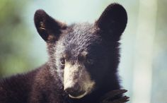 Baiting and Trapping and Hounding, Oh My! Maine's Bear Hunting Practices Must Go