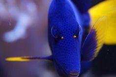 Rotmeer Doktorfisch #Aquarium by http://eco-marine.de