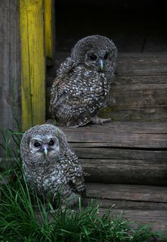 Owls by Denya7 Pinned by www.myowlbarn.com